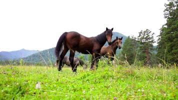 manada de cavalos pastando nas montanhas