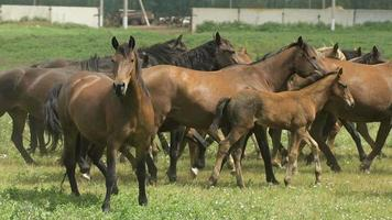 mandria di cavalli che corrono al pascolo in autunno