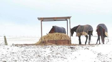 cavalos comendo palha sob um abrigo na neve
