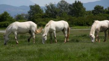 chevaux camarguais