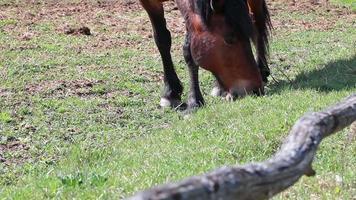 cavallo che si alimenta sul pascolo dietro la staccionata in legno, fattoria rurale