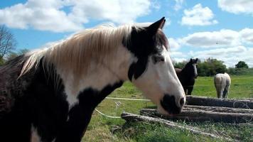 braunes irisches Pferd frisst video