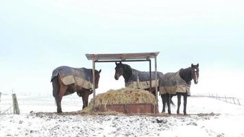 caballos comiendo paja y peleando bajo un refugio.