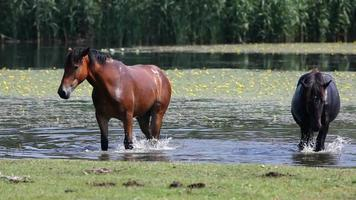 caballos video