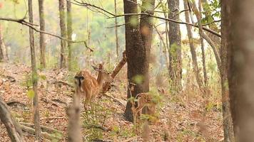 ciervo sika hembra con su cervatillo video