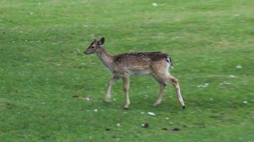 A deer is walking around video