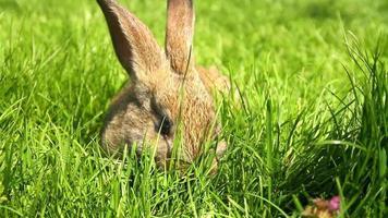 adorable conejito comiendo hierba hd video