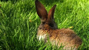lindo conejito en la hierba de primavera hd video