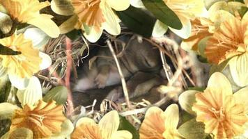 Easter baby bunnies snuggling. Border of spring flowers. video