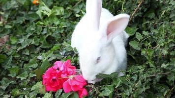 coniglio bianco mangia una rosa