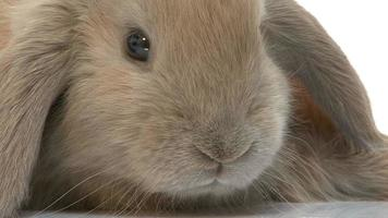 HD Footage close up of a Rabbit