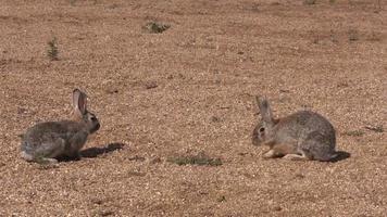 conejos de cola de algodón frente a frente video