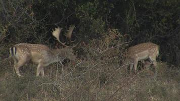 Male Fallow Deer in early morning in the mountain. video