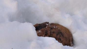 conejo mullido se sienta en la nieve en invierno video