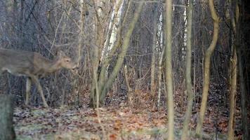 Wildlife - Deer in the woods walking video