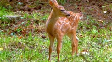 Cute Baby Deer Fawn in Green Grass Meadow in Spring