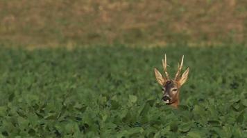 European deer - Capreolus capreolus - Roe deer video