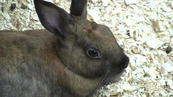 il simpatico coniglietto si rilassa in trucioli di legno (alta definizione)