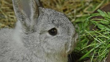 Chinchilla-Kaninchen knabbert an Gras video