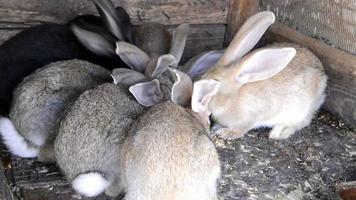 Rabbits eat hay and grain in cells in the village