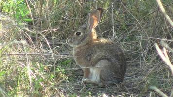 Kaninchen springt ins hohe Gras