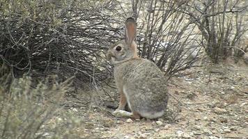 Conejo de rabo blanco del desierto comiendo planta video
