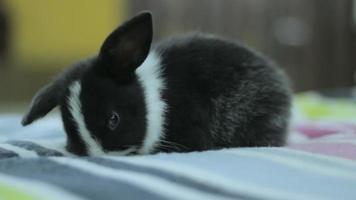 coelhinho preto e branco, coelho