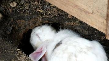 Kaninchen oder Hase graben Boden machen ein Loch mit Zähnen und Bein video