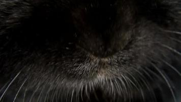 Petit nez de lapin noir nain close-up