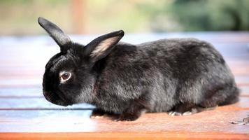 petit lapin noir nain couché