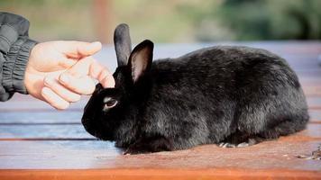 caresser un petit lapin noir nain