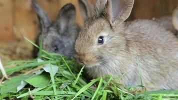 Young rabbits eating grass in of a hutch