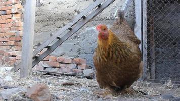 alimentación de pollos domésticos 17978_10 video