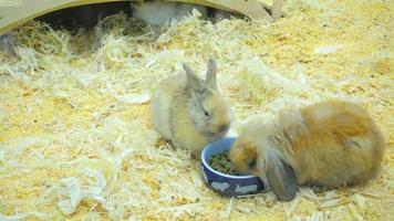 piccoli conigli mangiano e si divertono nel paddock