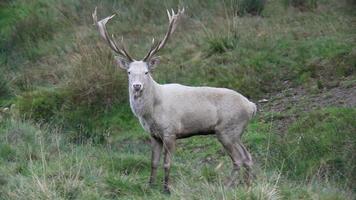 white red deer video