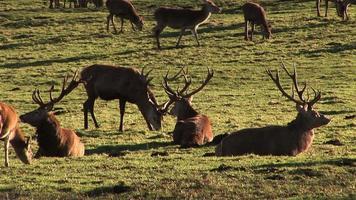 Group of stag red deer, HD PAL video