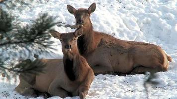 due cervi in inverno (hd 1080i / 50) video
