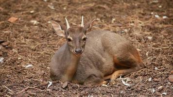 Female Fallow deer video