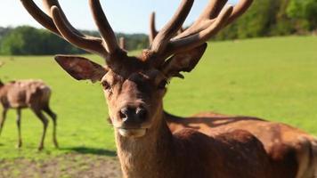 Fallow deer video