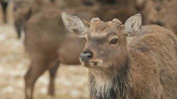 affascinante cervo video