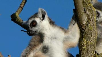 Lemur. Lemure.