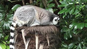 Ring-tailed lemur sit on a tree