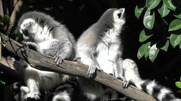 Two Ring-tailed lemur sit on a tree branch.