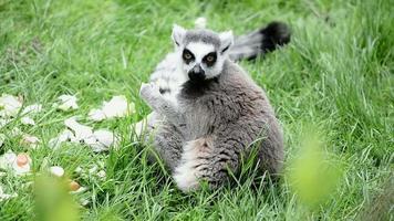 Lemur catta eating