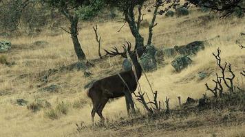ciervo hambriento video