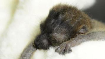 bebé lémur negro de ojos azules (20 días de edad) despertando video
