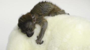 bebé lémur negro de ojos azules (20 días de edad) quedándose dormido
