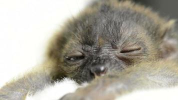 lemure nero dagli occhi azzurri (20 giorni) che si sveglia video