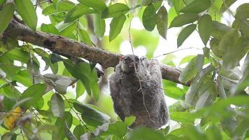 lémur volador