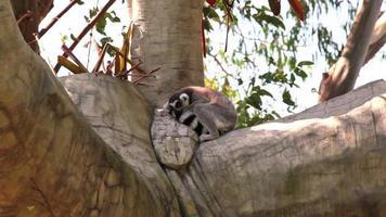 lemure dalla coda ad anelli (lemur catta) dormire sull'albero
